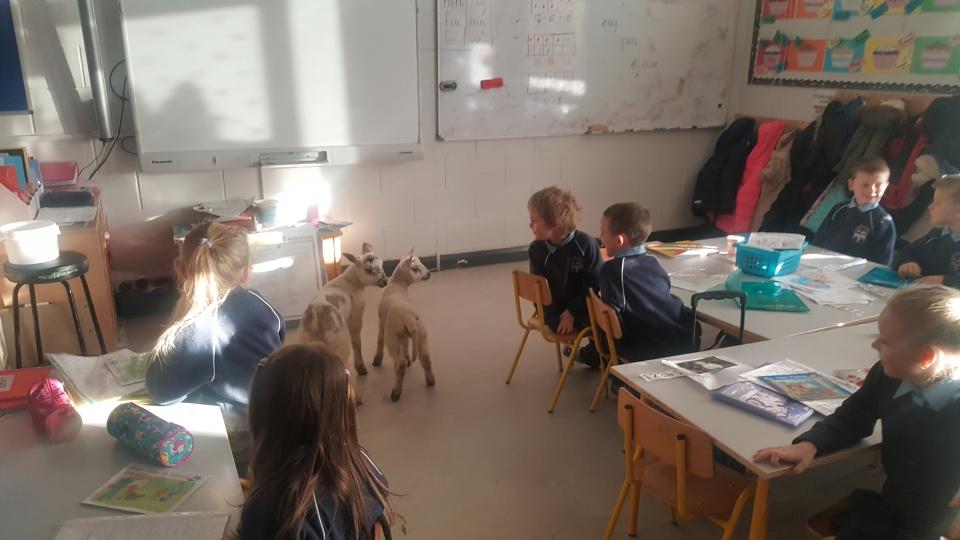 Lambs 2017 (18)